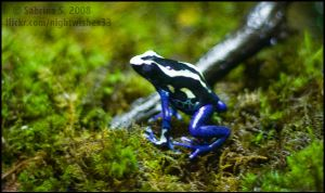 Poison Dart Frog by aheria