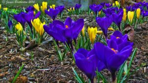 Crocus Of Spring by jim88bro