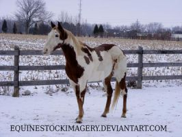 Paint Horse 63 by EquineStockImagery