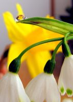 Droplet:daffodil by Mixdown13