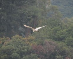 Flying Egret by AnaTaffy
