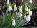 Snowdrops by PaSt1978