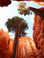 Tall Pines at Bryce Canyon by CorazondeDios