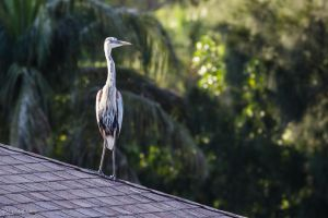 Great blue heron on a roof by LordMajestros