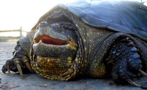 Snapping Turtle by PamplemousseCeil