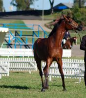 TW Arab bay legs crossing front on head to side by Chunga-Stock