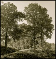 Trees in sepia.img658 1 2 by harrietsfriend