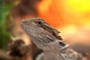 Bearded Dragon by PenguinPhotography