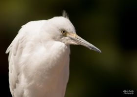 Snowy Egret by EdgedFeather