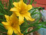 Yellow Lily's by littleride