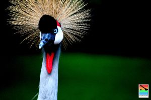 crowned crane 1 by mominomi