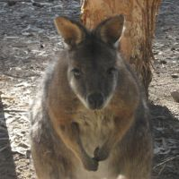 Curious Wallaby by canadiankazz