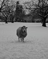 Sheep in the snow by gee231205