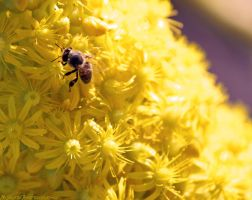 Collecting the pollen #2 by N-ScapePhotography
