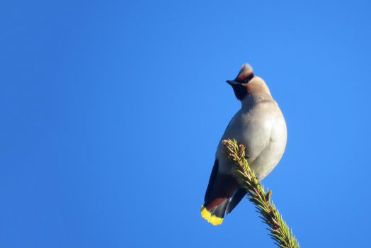 Waxwing by AnAE11