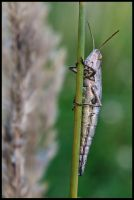Handicaped locust by Pildik