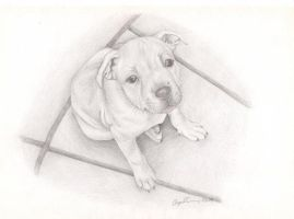 staffy puppy by angelfaces1986