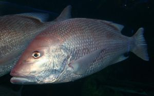 Denver Aquarium Red Drum Fish 99 by Falln-Stock