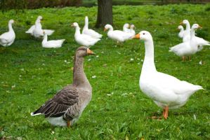 Two Geese and more by steppelandstock