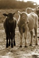 cute lil calves by TlCphotography730