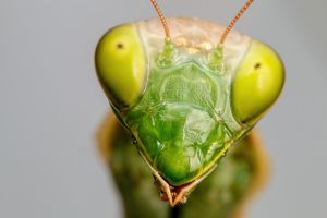 Mantis Portrait III by dalantech