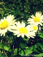 Daisies by Cherry-Cheese-Cake