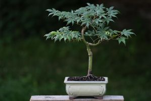Again Another Acer by organicvision