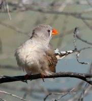 Zebra Finch 1 by Chezza932