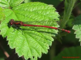 Large Red Damselfly (male) by Terrydunk