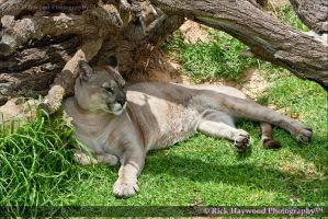 Male Puma 205-10a by Haywood-Photography