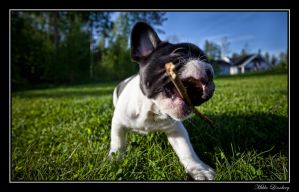 french bulldog 4 by mikkolo77