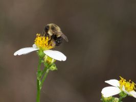 Fuzzy Bee by TabithaS-Photography