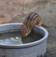 Chippy gets a Drink by Tailgun2009