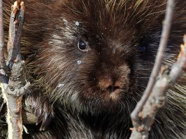 Porcupine-Whiskers by JestePhotography