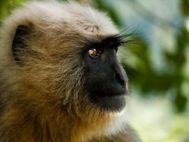 Langur Monkey by RAM75