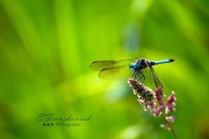 Blue Dragonfly by Kaedos
