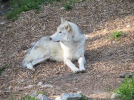 Wolf pic 1 by ChasingDreams4
