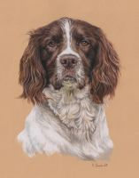Jasper the springer by Utlah
