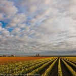 Skagit Valley Tulips by La-Vita-a-Bella