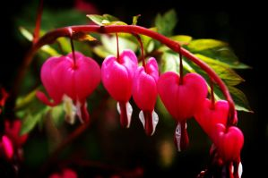 Bleeding Hearts by Cairn-Photography