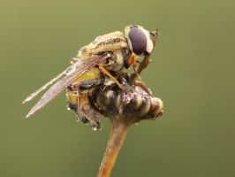 Hoverfly 2 by Black-Dragon-High