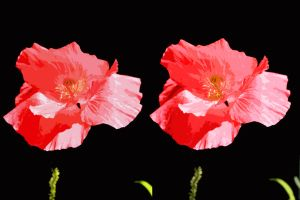 Shimmering Paper Shirley Poppy In 3-D by aegiandyad