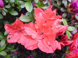 Rhododendron Anna Rose Whitney by JollyStock