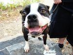 Boston Terrier 2. by NocturnalPleasure