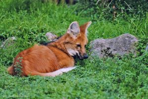 Maned Wolf by robbobert