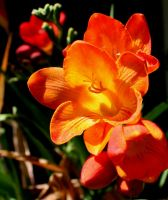 Freesia by lamsquaw