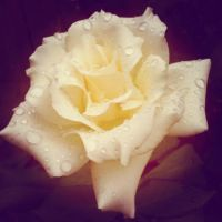 White Peace Rose by DarlingChristie