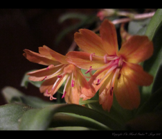 Lewisia by TheMarchStudios