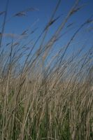 Reed bed by saxonraven
