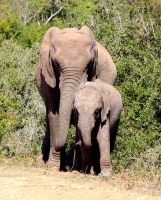 Addo Elephant Mother and Child by KevDurst